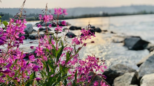 ユーコン準州の州花、ヤナギランの写真