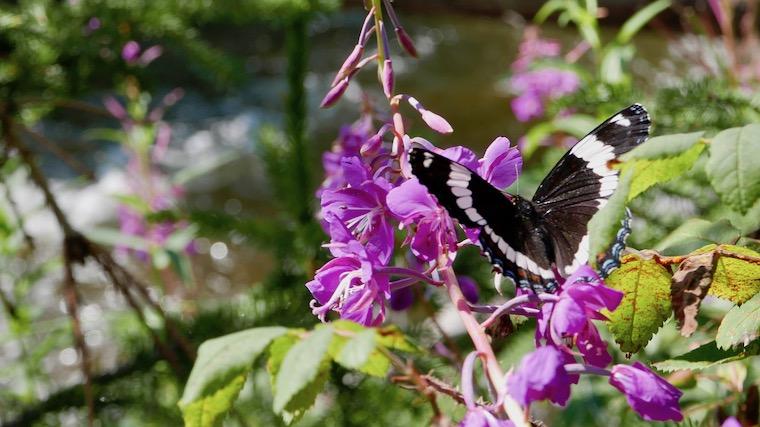 ファイヤーウィードにとまる蝶々